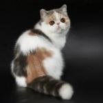KCH Black Pearls Sensoria of Forsycat