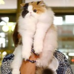 WCF Cat Show 7-8 September Odessa 2013