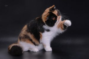 CH Forsycat Layma